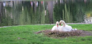 Nesting Swans - Boston Common