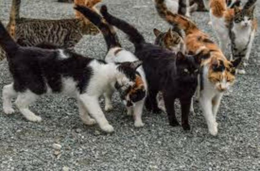 Sacrificarían miles de gatos ferales para preservar fauna salvaje en Australia
