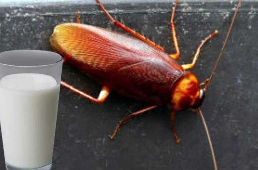 Entérate como es que la  leche de cucaracha es 3 veces mejor que la leche de vaca