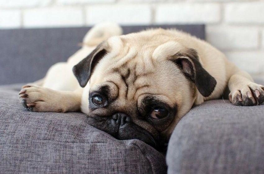 Aprende a reconocer si tu perro está sufriendo una enfermedad mental