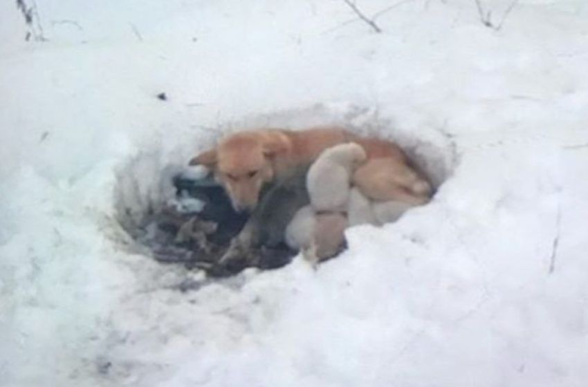 Amorosa madre perruna es encontrada en medio de la nieve protegiendo a sus bebés