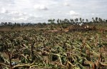 Strong winds brought by Typhoon Pablo on Tuesday (4 Dec 2012) destroyed hundreds of hectares of banana plantations in Compostela town, Compostela Valley province. Mindanews Photo by Ruby Thursday More