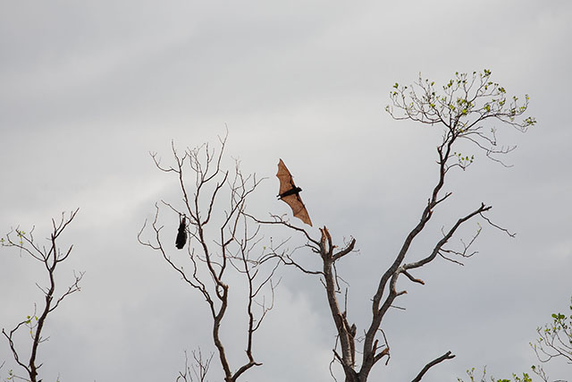 "A startled ""flying fox"" soars as another one sleeps on a mangrove tree devastated by Typhoon Yolanda in what used to be a bat sanctuary in Tabuk Island off Palompon, Leyte in this photo taken Friday, 29 Nov 2013. Over a hundred thousand bats used to roost in Tabuk Island, but most of them flew elsewhere. MindaNews photo by Bobby Timonera"