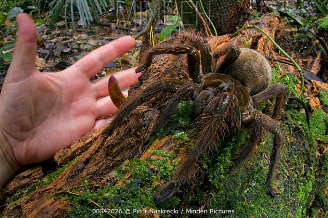 Minden Pictures stock photos   Goliath Bird eating Spider     Goliath Bird eating Spider  Theraphosa blondi  and hand  Suriname   Piotr  Naskrecki