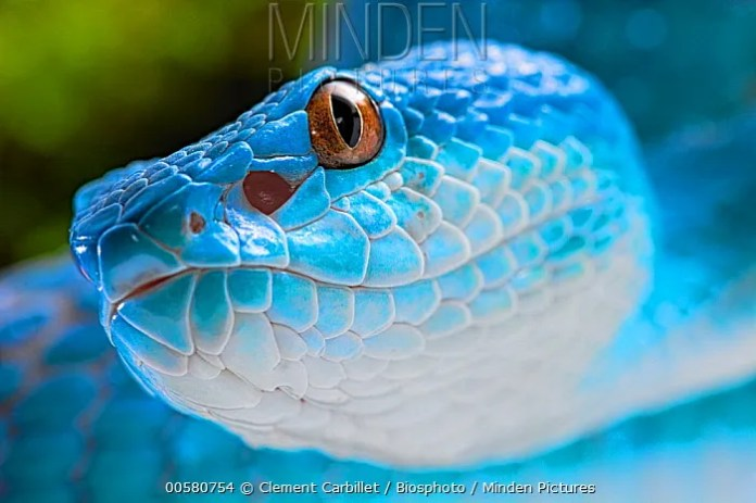 Minden Pictures - White-lipped Island Pit Viper ...