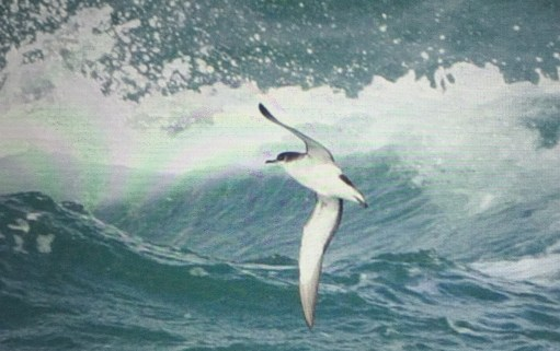 September: Manx Shearwater in full flight.