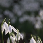 Snowdrops. The Harbingers of Spring.