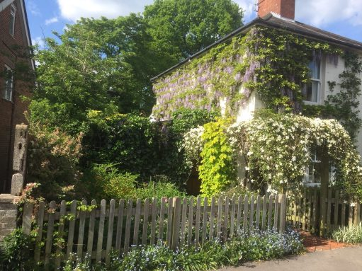 Laurel Cottage: May 2016 - wisteria and white clematis montana. Yellow hop.