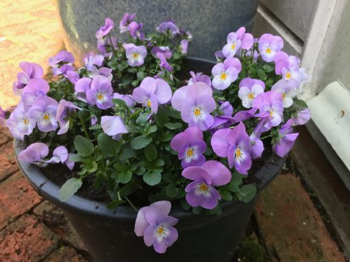Laurel Cottage: Viola.
