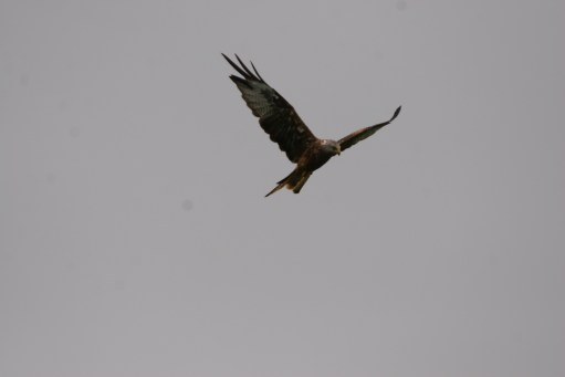 Gigrin Farm: The Red Kite is an impressive sight.