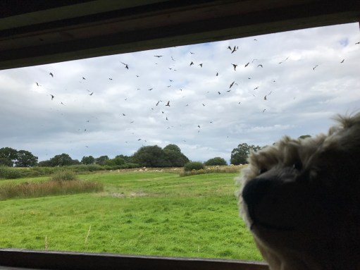 Gigrin Farm: Watching the many Red Kites from the hide.