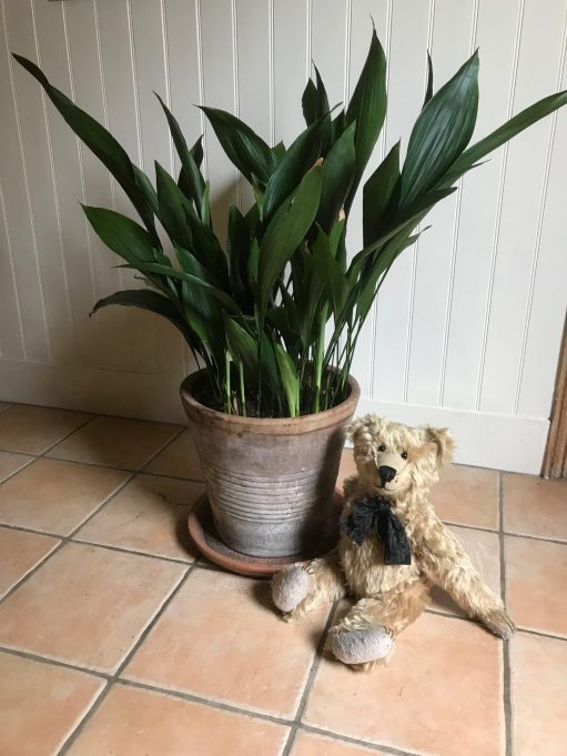 Aspidistra: Looks good from this side too!