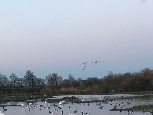Cotswolds: A family of Bewick swans coming back for the night. The hide now just me and Bobby.