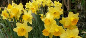 Daffodil Background