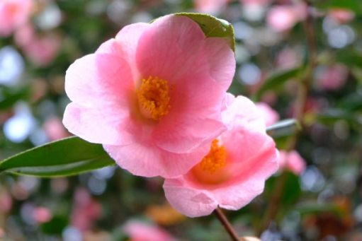 Just Two Hours: Camellias.