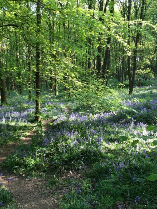 Frank's Walk: Bluebell Woods.