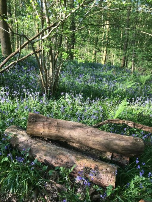 Frank's Walk: Bluebell Wood.