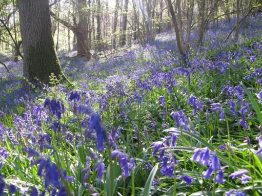 Frsank's Walk: Bluebell Wood.