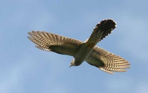 The Cuckoo - A spectacular sight in full flight.