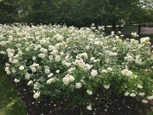 Queen Mary's Rose Garden.