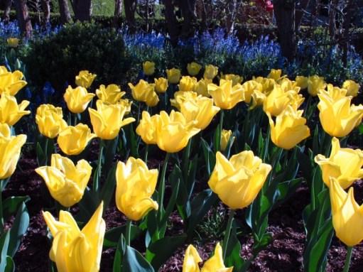 Dahlia Day: Yellow Tulips.