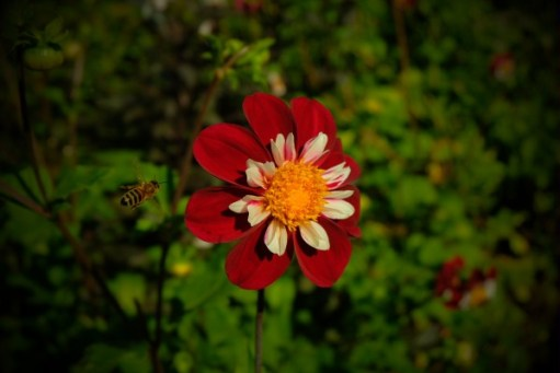 Dahlia Day: See the bee.