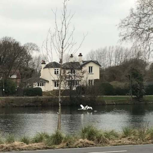 Finding Serenity: Swans flying home to who knows where. Maybe a safe reservoir.
