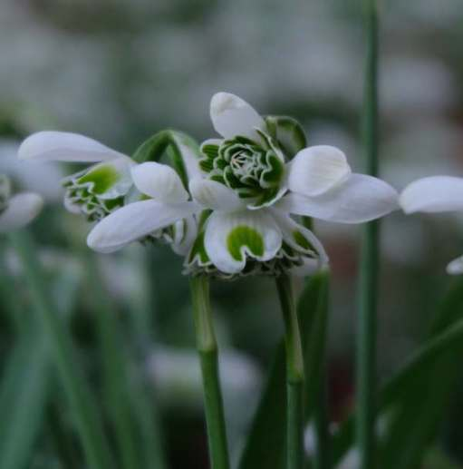 Cotswold Reverie: Snowdrops.
