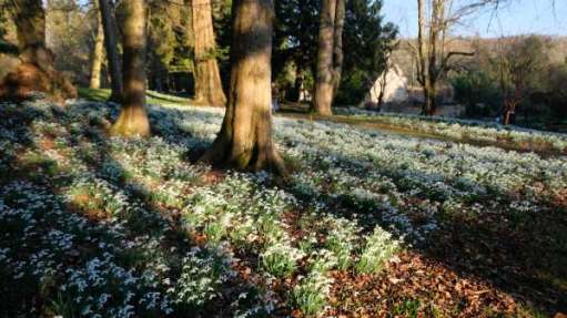 Cotswold Reverie: Snowdrops and Trees.