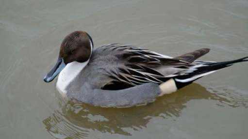 Cotswold Reverie: The glorious pintail male. Bobby's favourite duck (drake).
