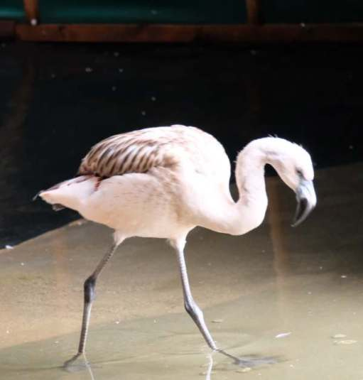 Cotswold Reverie: Flamingo.