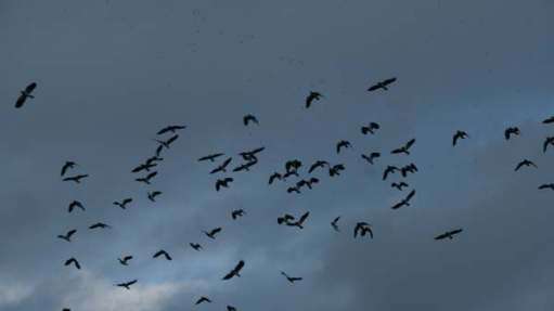 Cotswold Reverie:\Enormous flocks of lapwings viewed from a heated hide.