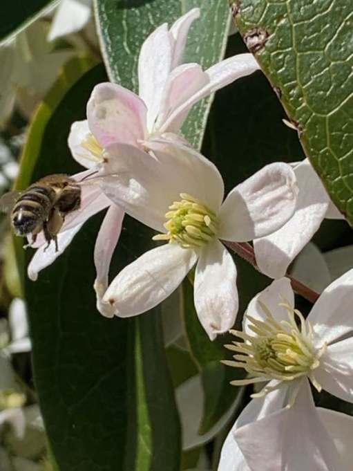 Clematis Armandii & Bee
