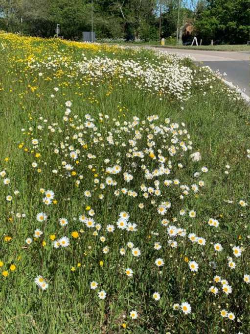 The grass verge approaching the roundabout - a veritable reserve of wild flowers including moon daisies and buttercups.