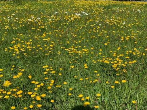 Profusion of buttercups in the grass verge.