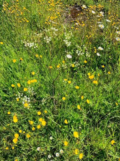 Buttercups and Daisies in the grass verge.