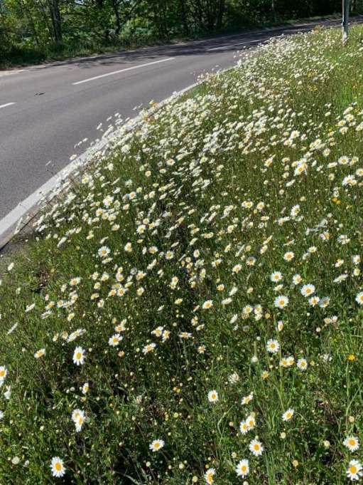 Daisies on the roundabout.