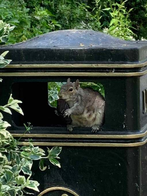 Squirrel Fatkin (too many cakes!) - A squirrel sat in the opening of a public litter bin eating from a cup-cake case.