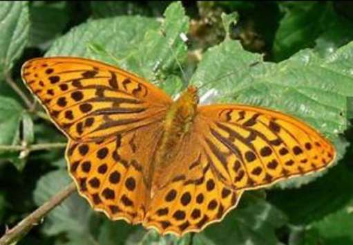 Silver Washed Fritillary butterfly.