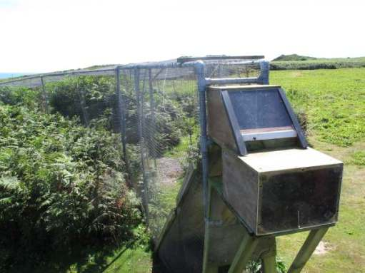 This is a Heligoland trap. Birds fly in the far, wide end and are then encouraged by the island staff to continue right up into the boxed area, where they are collected unharmed. Placed in small linen bags and taken for processing in the ringing hut.