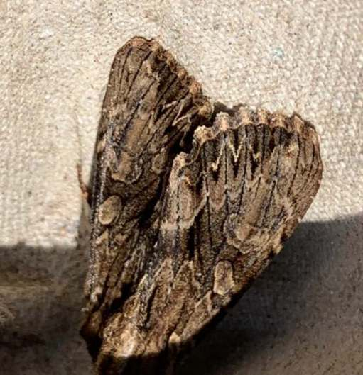 Dark Arches moth.