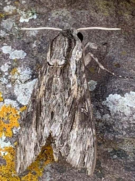Convolvulus Hawk moth.