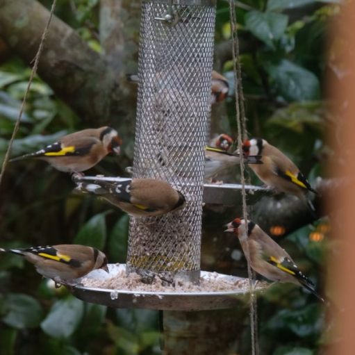Goldfinches eating from a bird feeder.