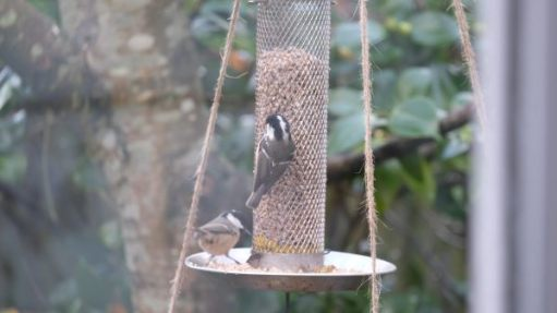 Coal Tits eating at the feeder.