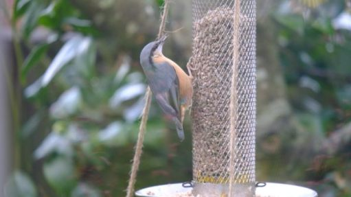 Nuthatch eating at the feeder.