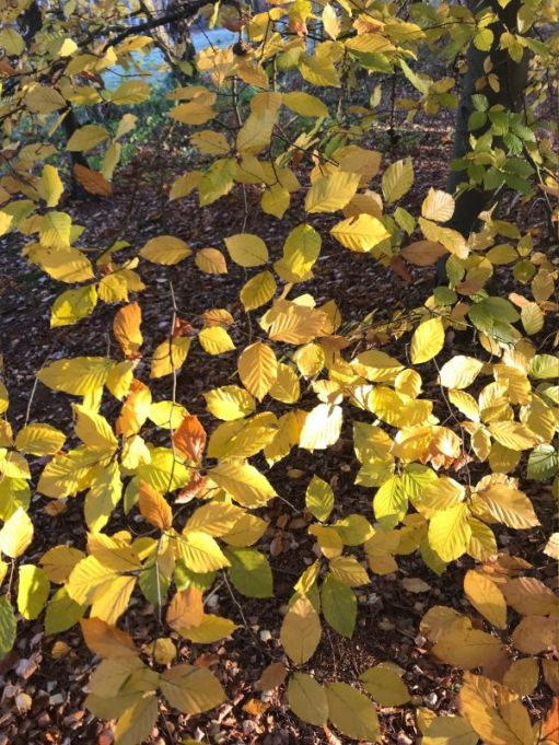 Autumn leaves in Abinger Roughs.