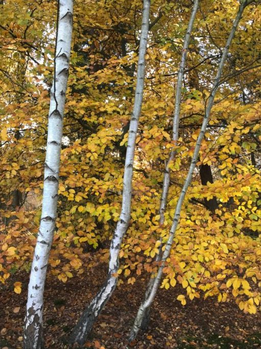Autumn leaves, and shining Silver Birch tree trunks in Abinger Roughs.