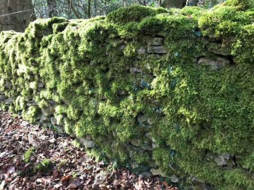 Cotswold dry stone wall covered in green plant growth.