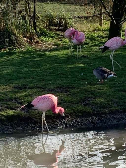 Andean Flamingo, Slimbridge.