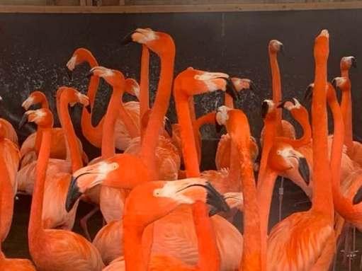 American Flamingo, Slimbridge.